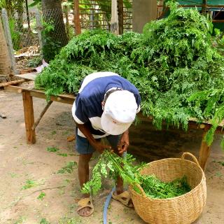 moringa leave picking 320x320